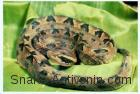 Malayan Pit Viper Calloselasma Rhodostoma Antivenom Red Cross