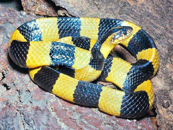 Snake Antivenom for Banded Krait, Red Cross Antivenin Treatment for Bungarus fas