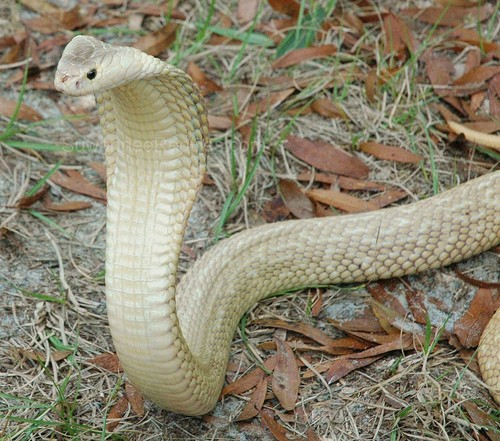 Snake Antivenom for Cobra Venom, Red Cross Antivenin Treatment for Naja Kaouthia