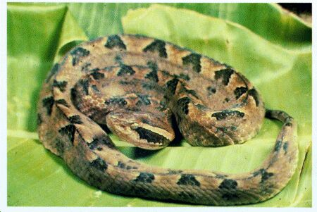 Snake Antivenom for Malayan Pit Viper, Red Cross Antivenin Treatment for Callose