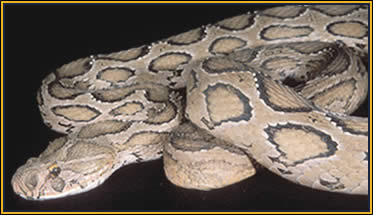 Snake Antivenom for Russell's Viper, Red Cross Antivenin Treatment for Daboia Ru